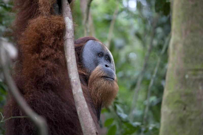 l'homme de la forêt (orang outan)