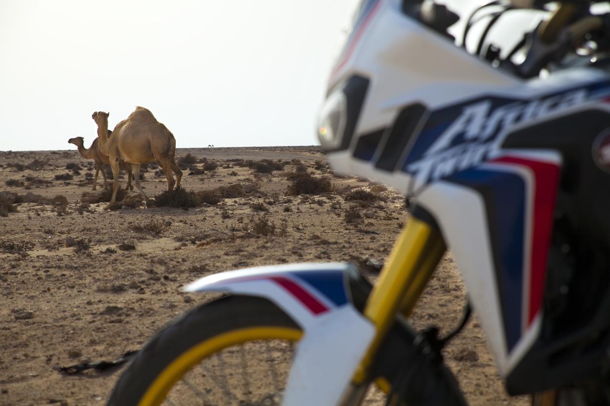 Africa Twin et chameau